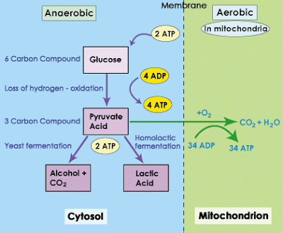 Schematic simplification of the anaerobic and aerobic pathway.png