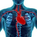 Androgens and the cardiovascular system