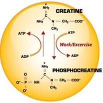 Creatine Monohydrate Molecule