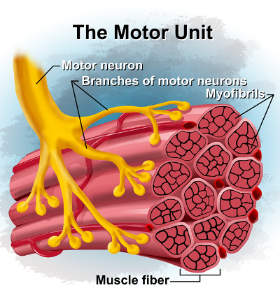 Muscle Fibers - Periodization